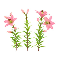 Pink lilies with green stem and leaves vector