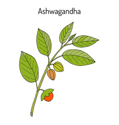 Ayurvedic herb withania somnifera known as vector