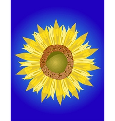 single sunflower head vector image vector image