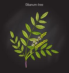 Olibanum-tree boswellia sacra or frankincens vector