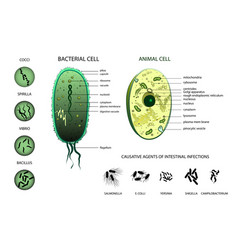 microbiology animal cell bacterium vector image vector image