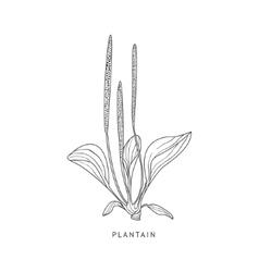 Plantain hand drawn realistic sketch vector
