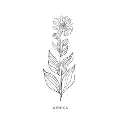 Arnica hand drawn realistic sketch vector