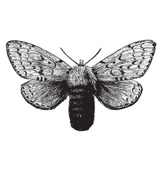 Female gipsy moth vintage vector