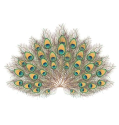 Peacock Tail vector image