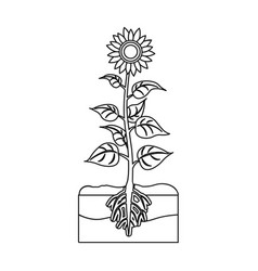 Sunflower single icon in outline stylesunflower vector