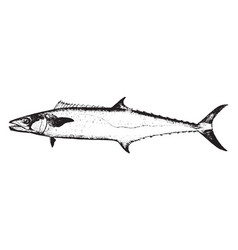 Kingfish vintage vector