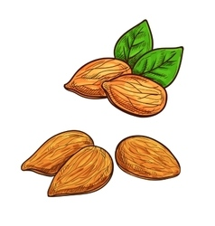 Almond isolated icon vector