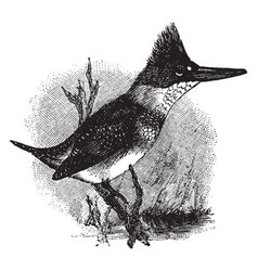 Belted kingfisher vintage vector