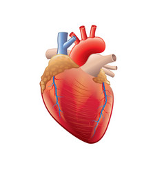 Human heart isolated vector