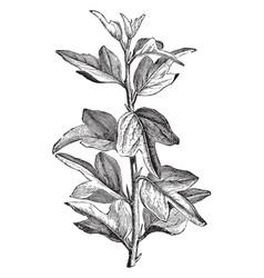 Branch of curdrania triloba in juvenile state vector