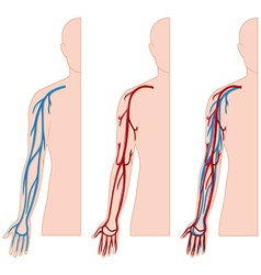 Blood vessels in human hand vector image vector image