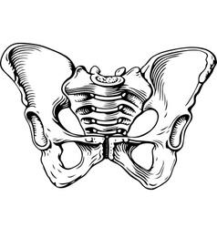 Human pelvis female vector image