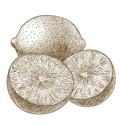 Engraving limes vector
