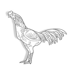 Drawing of cock isolated on white background vector