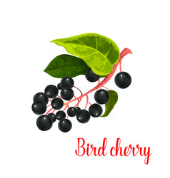 bird cherry berry icon vector image