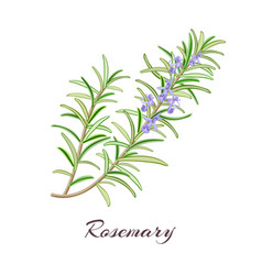 rosemary herb rosmarinus officinalis vector image vector image
