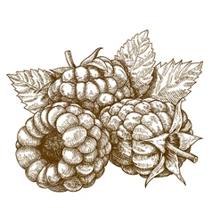 engraving raspberry vector image vector image