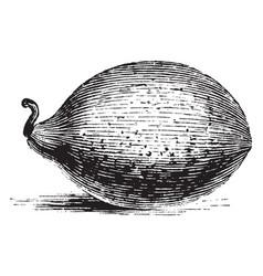 Figari melon vintage vector