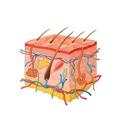 Human skin anatomy isolated vector