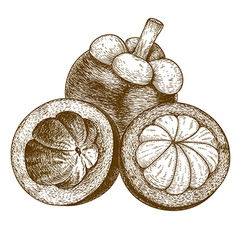 Engraving mangosteen vector
