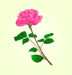 Pink rose stem with leaves and blossoms vector