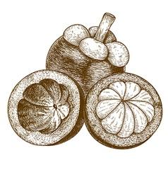 engraving mangosteen vector image vector image