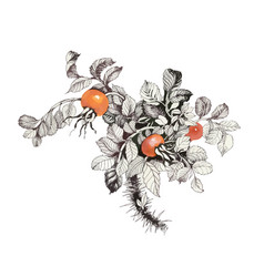 Hand drawn fruit of the wild rose vector