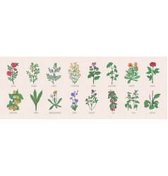 Collection of wild meadow herbs blooming flowers vector
