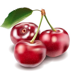 cherry vector image vector image