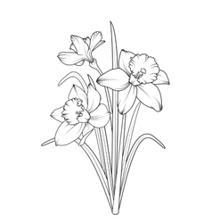 Daffodils narcissus spring flowers isolated vector