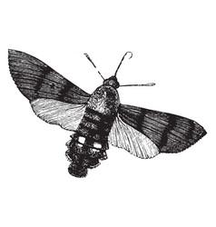Humming bird hawk moth vintage vector