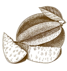 engraving mango vector image vector image