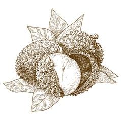 Engraving lychee vector