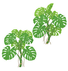 monstera plants isolated vector image