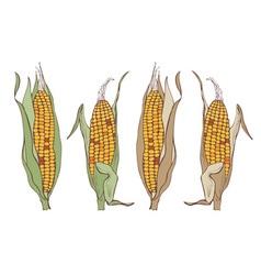 corn on the cob vector image