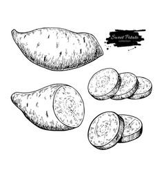 Sweet potato hand drawn vector