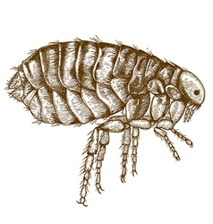 Engraving flea vector