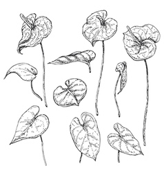 doodle anthurium vector image vector image