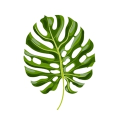 Full leaf of monstera palm tree vector