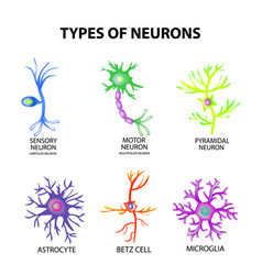 Types of neurons structure sensory motor neuron vector