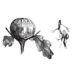 oak galls vintage vector image vector image