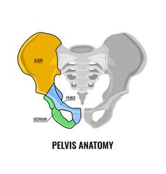 pelvis anatomy scheme vector image