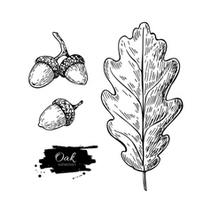 Oak leaf and acorn drawing set autumn vector