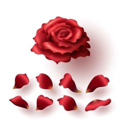 Realistic glossy red blooming rose and petals set vector