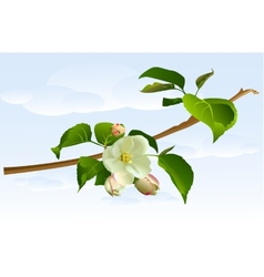 Branch apple tree with flowers vector