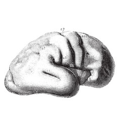 Brain of fetus vintage vector
