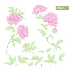 Set of peony flowers elements vector