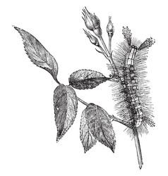 Larva of vapourer moth vintage vector