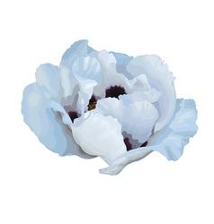 Plant Paeonia arborea Tree peony white flower vector image vector image